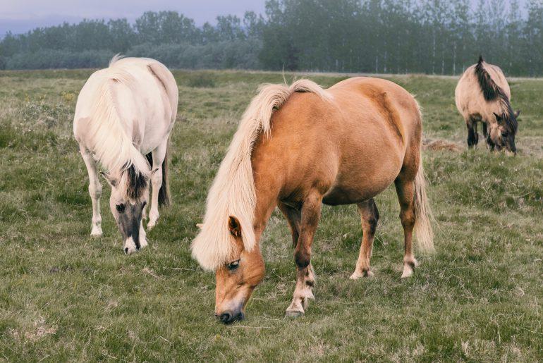 Mini paarden
